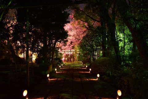 野沢龍雲寺「桜ライトアップ」の写真です
