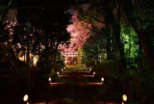 龍雲寺桜ライトアップ01