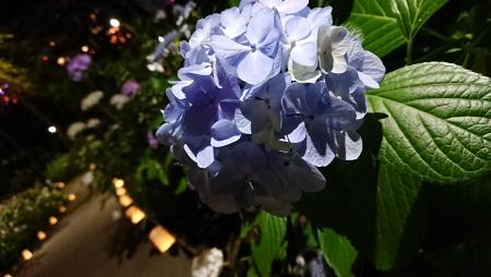 八景島シーパラダイス あじさい祭り02
